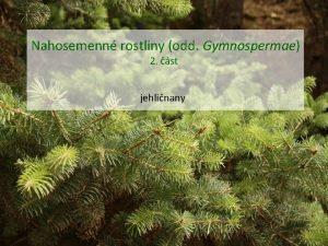 Nahosemenn rostliny odd Gymnospermae 2 st jehlinany Nahosemenn
