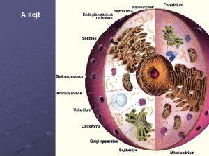 A sejt A sejt Embri szomatikus ektoderma Ektoderma