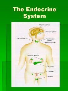 The Endocrine System Functions of the Endocrine System