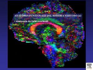 ANATOMIA FUNZIONALE DEL SISTEMA NERVOSO 2 anatomia del