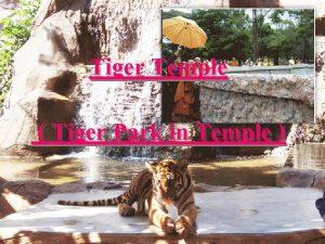 Tiger Temple Tiger Park in Temple Tiger Temple