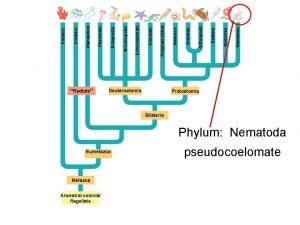 Radiata Metazoa Ancestral colonial flagellate Deuterostomia Eumetazoa Protostomia