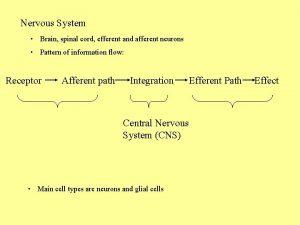 Nervous System Brain spinal cord efferent and afferent
