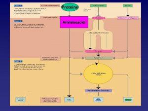 Proteine Amminoacidi La degradazione delle proteine provenienti dalla