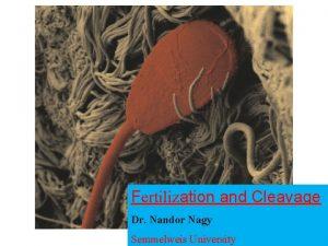 Fertilization and Cleavage Dr Nandor Nagy Semmelweis University