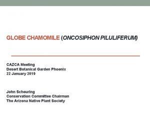GLOBE CHAMOMILE ONCOSIPHON PILULIFERUM CAZCA Meeting Desert Botanical