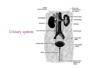 Urinary system Functions of Urinary System Removes waste
