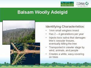 Balsam Woolly Adelgid Identifying Characteristics 1 mm small