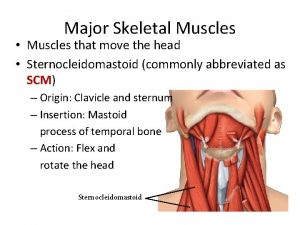 Major Skeletal Muscles Muscles that move the head