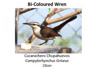 BiColoured Wren Cucarachero Chupahuevos Campylorhynchus Griseus 19 cm