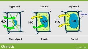 Hypertonic Isotonic Hypotonic Vacuole Plasmolyzed Osmosis Flaccid Turgid