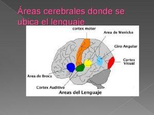 reas cerebrales donde se ubica el lenguaje Webgrafa