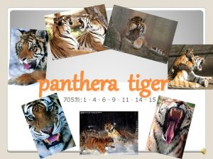 panthera tiger 705 1469111415 Tiger Form Factor Tigers
