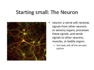 Starting small The Neuron neuron a nerve cell