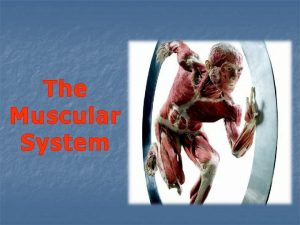 The Muscular System Primary Function of the Muscular