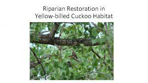 Riparian Restoration in Yellowbilled Cuckoo Habitat Western DPS