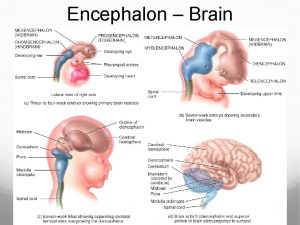 Encephalon Brain Brain Components Fig 14 1 Brain