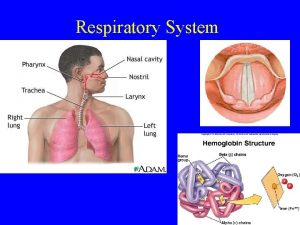 Respiratory System Respiratory System Organs concerned with exchange