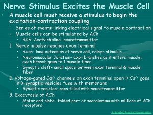 Nerve Stimulus Excites the Muscle Cell A muscle