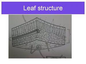 Leaf structure Leaf Structures N O K C