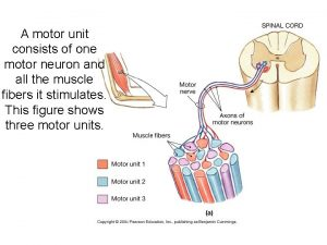 A motor unit consists of one motor neuron