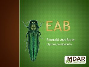 Emerald Ash Borer Agrilus planipennis Native to Asia