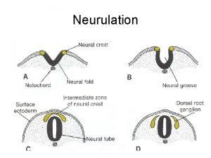 Neurulation Differentiation of Mesodermal layer Paraxial mesoderm Intermediate
