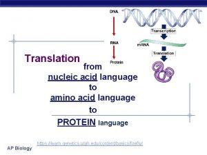 Translation from nucleic acid language to amino acid