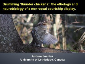 Drumming thunder chickens the ethology and neurobiology of