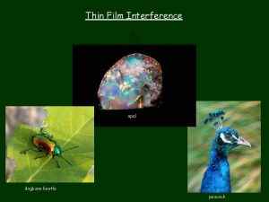 Thin Film Interference opal dogbane beetle peacock y