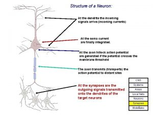 Structure of a Neuron At the dendrite the