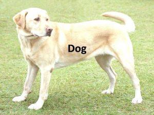 Dog Classification The domestic dog Canis lupus familiaris