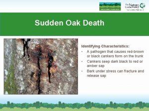 Sudden Oak Death Identifying Characteristics A pathogen that