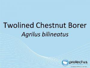 Twolined Chestnut Borer Agrilus bilineatus Twolined Chestnut Borer