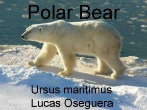 Polar Bear Ursus maritimus Lucas Oseguera Scientific Classification