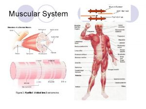 Muscular System Muscular System l How Muscles Move