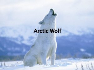 Arctic Wolf Where Do Arctic Wolves Live Northern