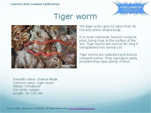Common New Zealand earthworms Tiger worm The tiger