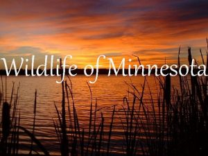 Wildlife of Minnesota Fish What makes a fish