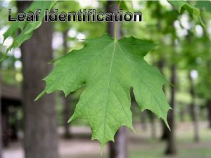 Leaf Identification Identification Life Cycles Flowers Fruits Activity