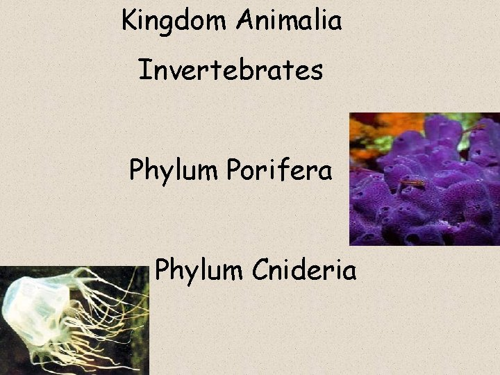 Kingdom Animalia Invertebrates Phylum Porifera Phylum Cnideria SPONGES