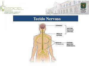 E G NGLIOS Neurnio corpo celular dendritos espinhos