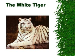 The White Tiger The Story People love white