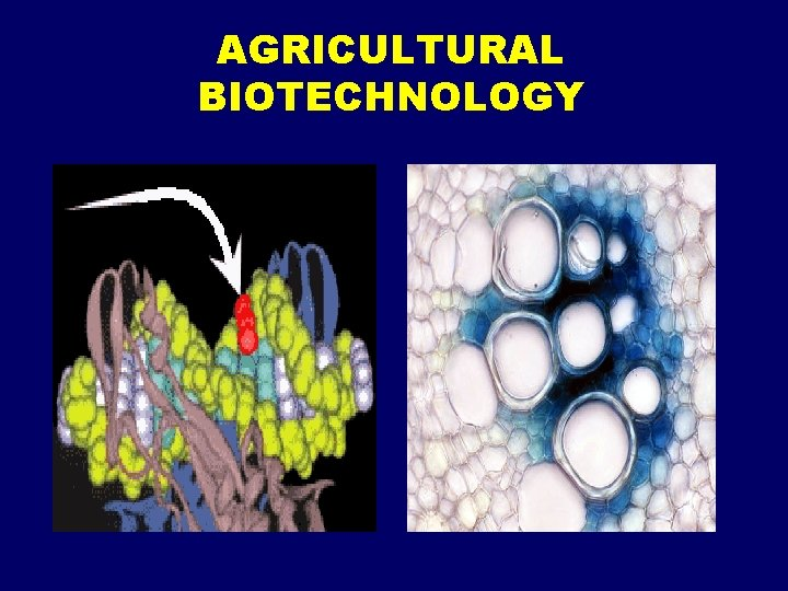AGRICULTURAL BIOTECHNOLOGY Stages of Biotechnology Development Ancient biotechnology