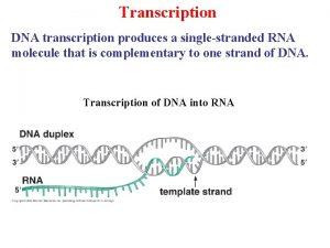 Transcription DNA transcription produces a singlestranded RNA molecule