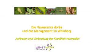 Die Flavescence dore und das Management im Weinberg