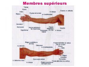 Membres suprieurs 2 3 Mouvement des membres suprieurs