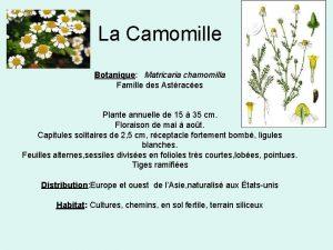 La Camomille Botanique Matricaria chamomilla Famille des Astraces