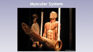 Muscular System Muscular System Functions Skeletal muscle pulls