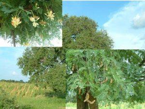 ENDOGENOUS KNOWLEDGE ON TAMARIND TAMARINDUS INDICA L IN